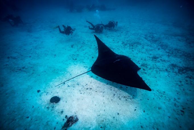 manta-rays